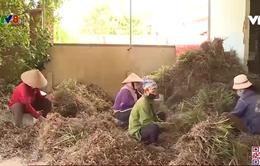 Đắk Lắk: Thoát nghèo từ mô hình cây sả