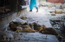 Đắk Lắk công bố dịch cúm gia cầm ở TP Buôn Ma Thuột