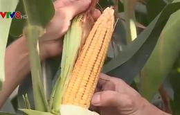 Phú Yên: Liên kết chuỗi sản xuất nâng cao thu nhập cho nông dân