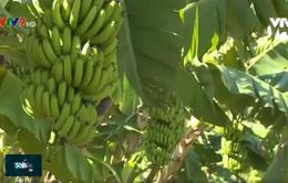 ĐBSCL: Xây dựng thương hiệu nông sản từ câu chuyện cây chuối