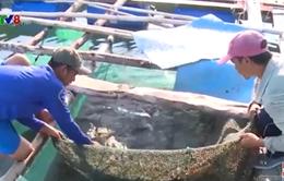 Nam Trung Bộ: Tôm hùm bông giảm giá nhưng vẫn khó bán