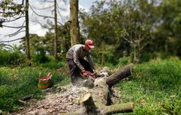 Hạn mặn, người dân tiếp tục phải đốn bỏ cây sầu riêng