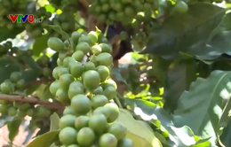 Kon Tum phát triển cây cà phê xứ lạnh