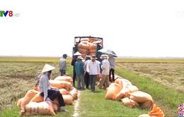 Nông dân Quảng Trị được mùa và được giá lúa