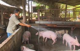 Giá lợn giảm, người chăn nuôi đứng trước nguy cơ thua lỗ