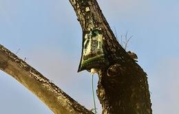 """Cận cảnh cây sưa đỏ quý tại Hà Nội được truyền dịch """"cấp cứu"""""""