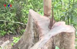 Phú Yên: Phát hiện thêm điểm phá rừng quy mô lớn