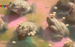 Quảng Bình: Hiệu quả mô hình nuôi ếch trên vùng cát