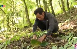Báo động tình trạng trộm sâm Ngọc Linh tại Quảng Nam