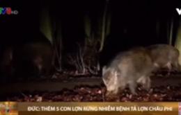 Đức xác nhận thêm 5 trường hợp lợn rừng nhiễm bệnh tả lợn châu Phi