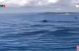 Xuất hiện đàn cá heo trăm con vùng biển Phú Yên