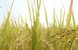 Quảng Bình: Thu hoạch xong lúa Hè - Thu