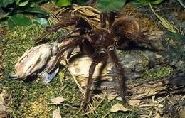 Nọc độc của nhện có thể giảm cơn đau của hội chứng ruột kích thích