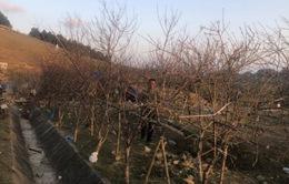Đề xuất dán tem đào vườn để phân biệt với đào rừng