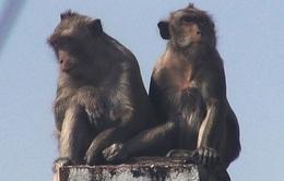 """Bắn thuốc mê di dời đàn khỉ đuôi dài """"đại náo"""" trong khu dân cư"""