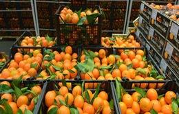 Xuất khẩu cam của Ai Cập tăng mạnh trong mùa dịch COVID-19