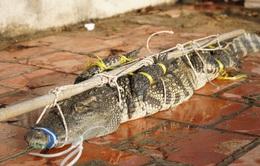 Đã bắt được cá sấu nặng 30kg giữa hồ nước sát khu dân cư