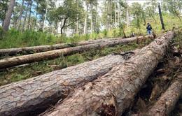 """Truy tìm kẻ """"bức tử"""" gần 400 cây thông ba lá"""