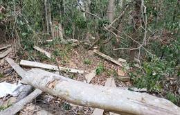 """Bắt giam Chủ tịch Công ty trong vụ phá 30.000 m2 rừng để """"trồng rừng"""""""