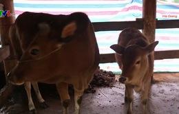 Hà Giang phòng chống đói rét cho gia súc và cây trồng