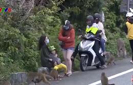 Hệ lụy cho khỉ ăn tại bán đảo Sơn Trà