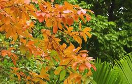 Hà Nội đẹp nao lòng mùa thay lá