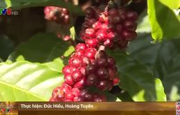 Đắk Lắk gặp khó trong tái canh cà phê