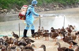 Triển khai quyết liệt các giải pháp kiểm soát phòng, chống bệnh cúm gia cầm
