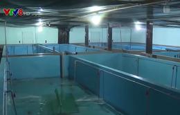 Phú Yên: Nuôi tôm hùm trong bể trên bờ