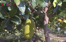Kon Tum: Trang trại trái cây theo tiêu chuẩn quốc tế