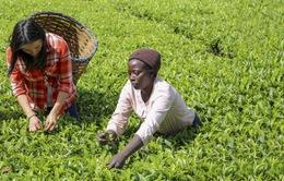 Xuất khẩu chè của Kenya tăng trưởng mạnh bất chấp đại dịch COIVD-19