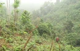 Ngang nhiên chuyển rừng tự nhiên thành rừng trồng tại vườn quốc gia Xuân Sơn