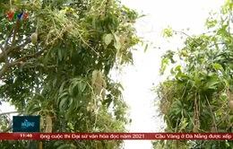 Nhiều diện tích xoài tại Cam Lâm Khánh Hòa bị hư hại