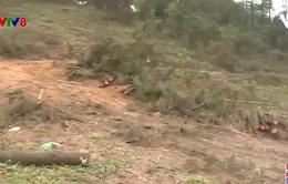 Hà Tĩnh: Thực trạng chặt phá rừng thông trái phép