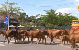 """Chuyện lạ giữa phố: Người tham gia giao thông """"nhường"""" đường cho... bò"""