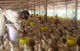 Giá thức ăn chăn nuôi tăng cao, nguy cơ thiếu hụt thịt gia cầm vào quý 2