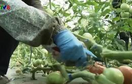 Nhật Bản: Ngành nông nghiệp thu hút lao động trong dịch bệnh
