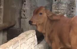 Thanh Hóa phòng chống bệnh viêm da nổi cục trên trâu bò