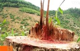 Phức tạp tình trạng phá rừng chiếm đất sản xuất