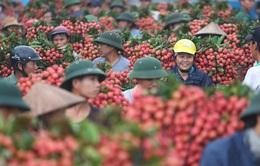 Bắc Giang có ngày bán tới 9.000 tấn vải