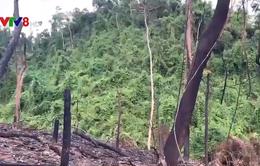 Nghịch lý đốt rừng để trồng rừng ở Quảng Nam