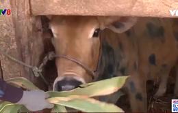 Bình Định: Bùng phát bệnh viêm da nổi cục trên trâu bò