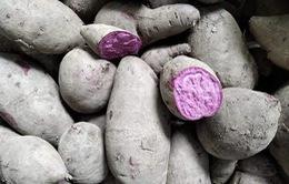 Giá khoai lang giảm kỷ lục, chưa tới 1.000 đồng/kg: Nông dân khóc ròng