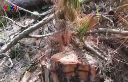 Đà Lạt: Xác định đối tượng phá rừng gần chân đèo Prenn