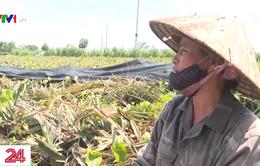 Không có thương lái thu mua, nông dân trồng dứa mong hãm thời gian thu hoạch