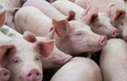 Giá lợn hơi giảm mạnh, mỗi con lỗ cả triệu đồng