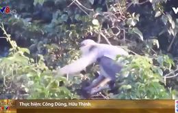 Quảng Nam mua rừng nuôi voọc chà vá