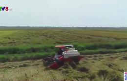 Thừa Thiên - Huế đẩy nhanh tiến độ thu hoạch lúa hè thu tránh lũ