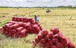 Xem xét cho vay không có tài sản bảo đảm đối với doanh nghiệp lúa gạo