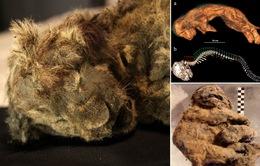 Phát hiện xác sư tử 28.000 tuổi nguyên vẹn trong hang động cổ đại